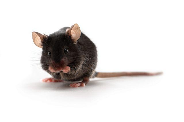 C57BL/6 Mouse