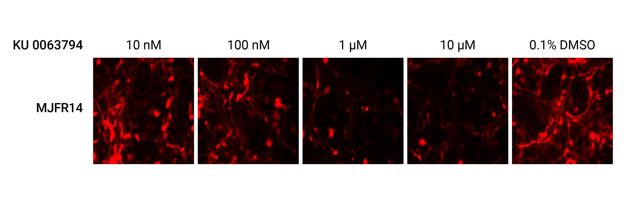Data images illustrating the reduction in α-synuclein expression following treatment with the positive control compound.
