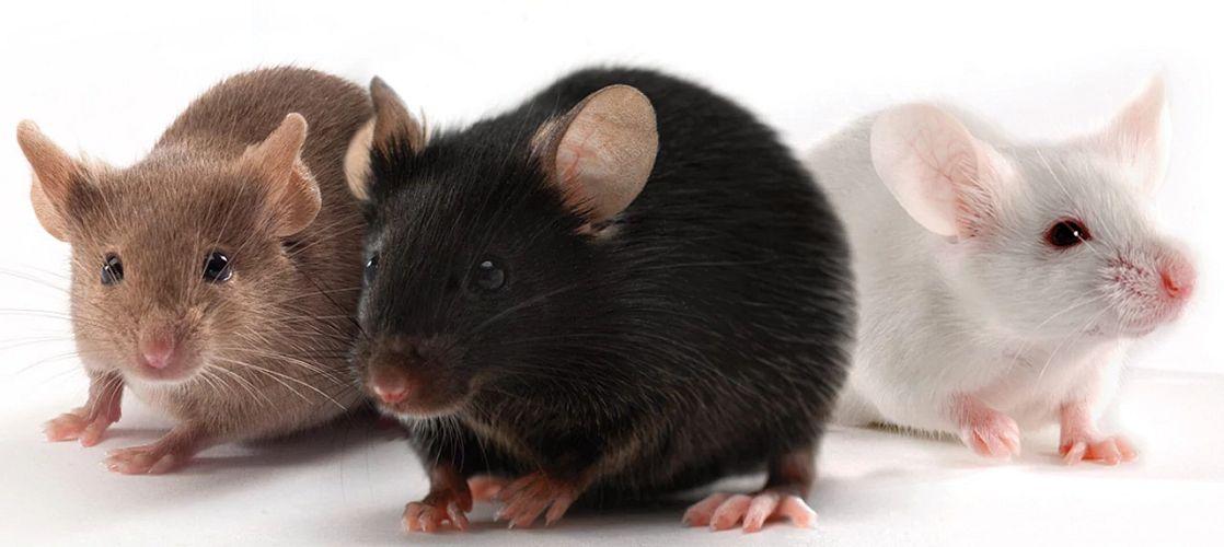 three healthy mice