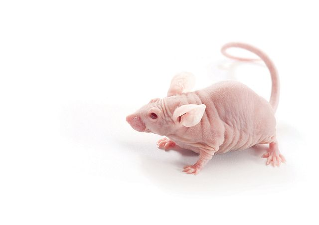 Immunodeficient mice are used for studying human disease