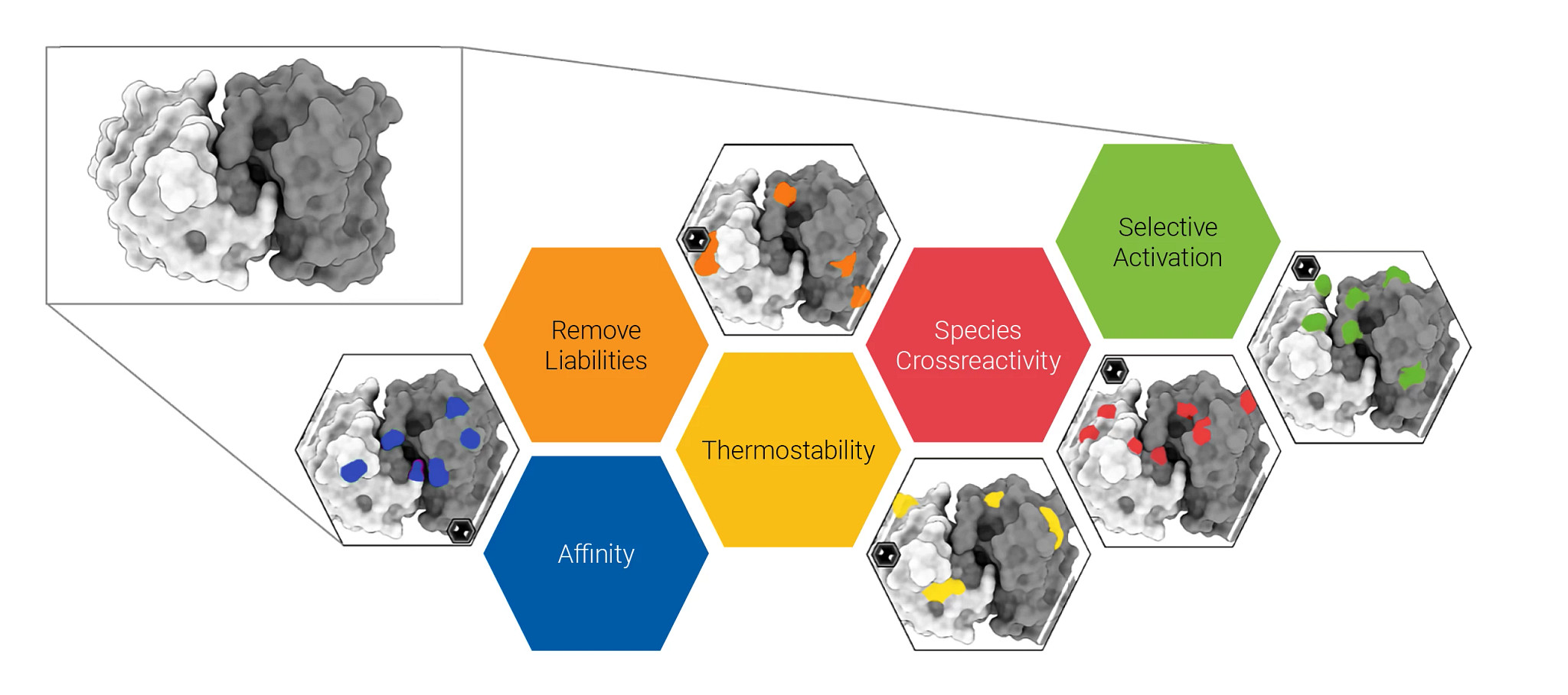 """Tumbler humanized antibody technology is a multi-factor optimization platform used to make antibodies""""more human,"""" and the resulting antibody is optimized for affinity, removal of liabilities, thermostability, species cross-reactivity, and selective activation."""