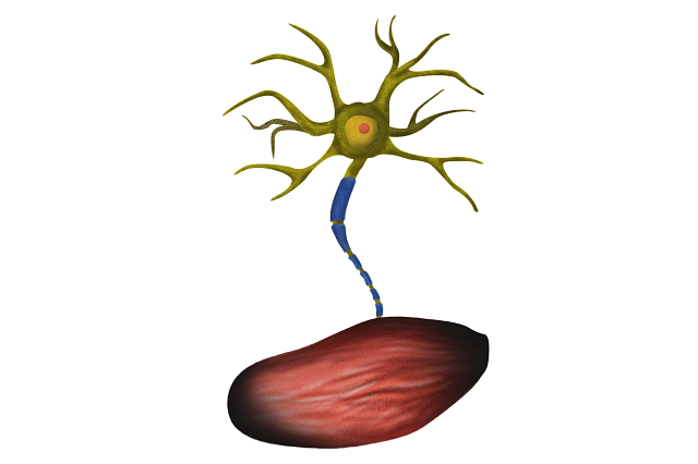 Illustration of an ALS motor neuron