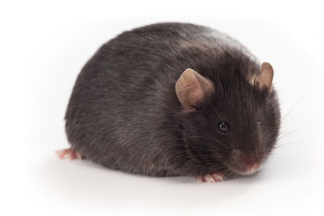 This diet-induced mouse model is a common NASH Model used in our drug discovery studies.
