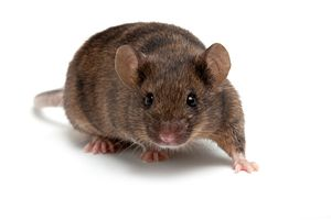 Picture of a mouse used in type 2 diabetes studies