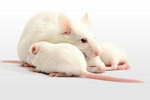 Three white mice.