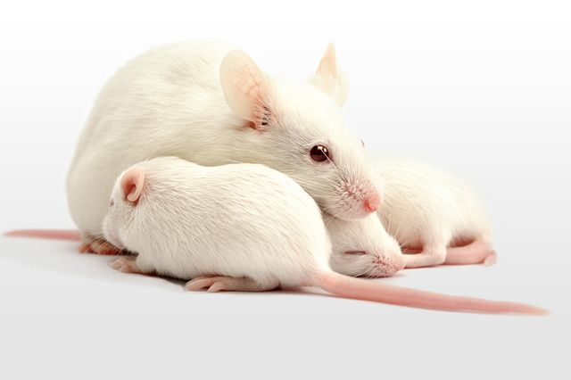 white laboratory mice: mother with pups