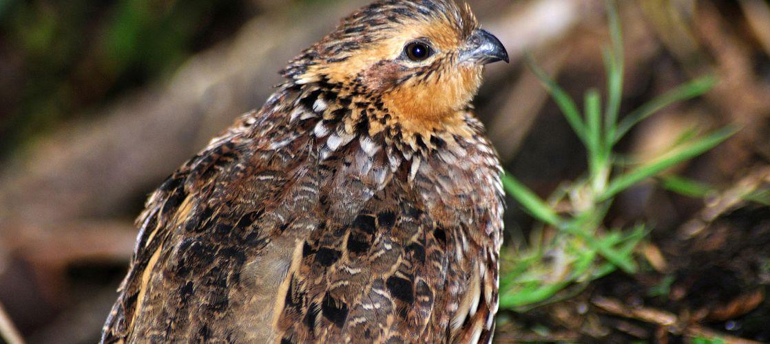 Charles River runs avian toxicity studies in Japanese and Bobwhite quail.