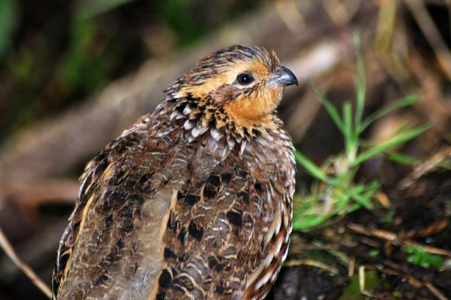 Charles River runs avian toxicity studies in Japanese and Bobwhite quail.