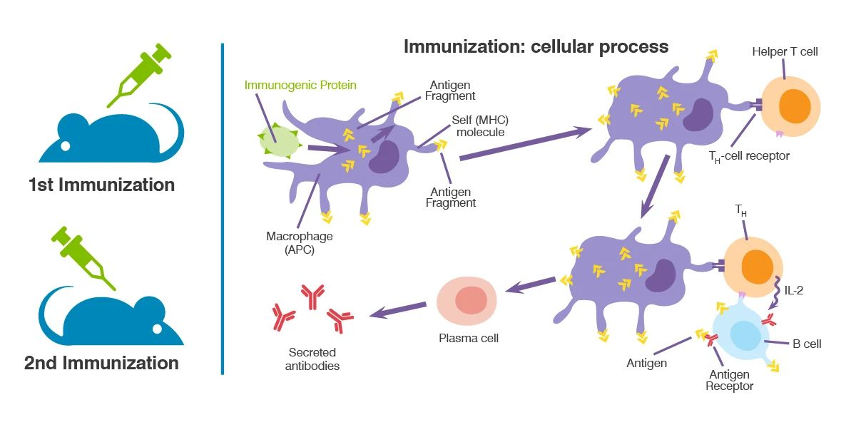 Schema of the TDAR assay showing mouse immunization and cellular response