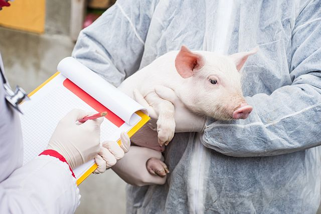 Veterinarian holding a pig while nurse working trial.