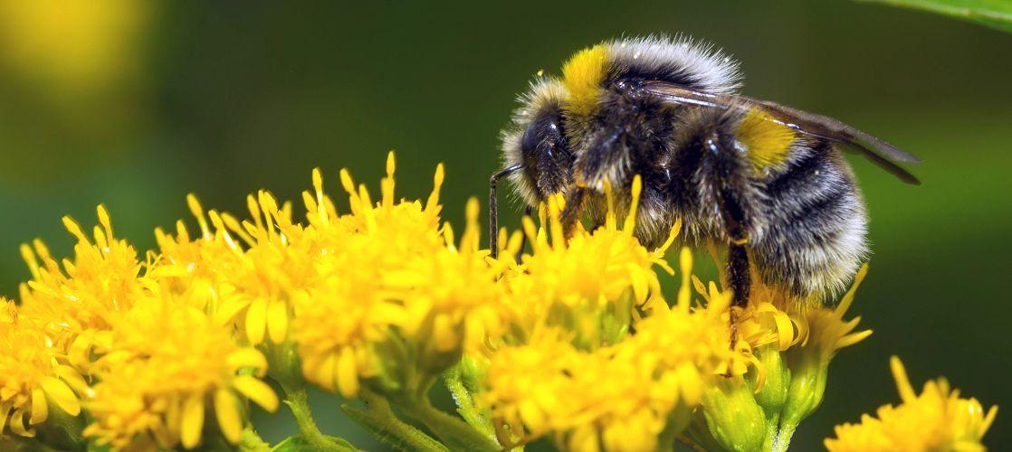 Charles River perform Bumblebee studies.