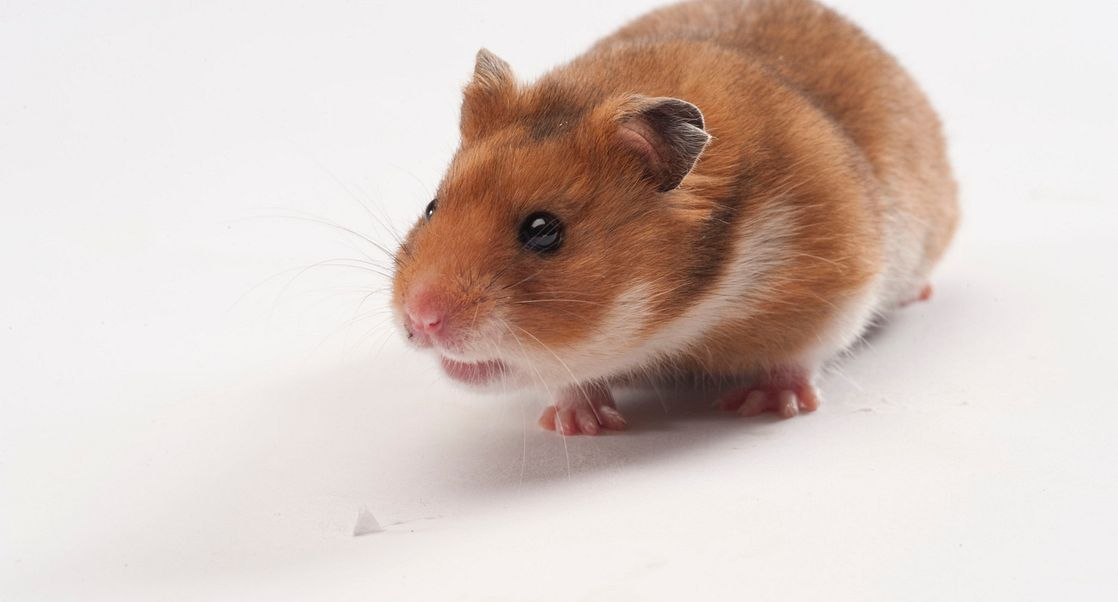 LVG Golden Syrian Hamster: Relevancy and Application in COVID-19 Research
