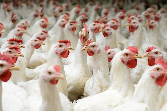 specific-pathogen-free chickens
