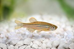 single zebrafish swimming over white rocks