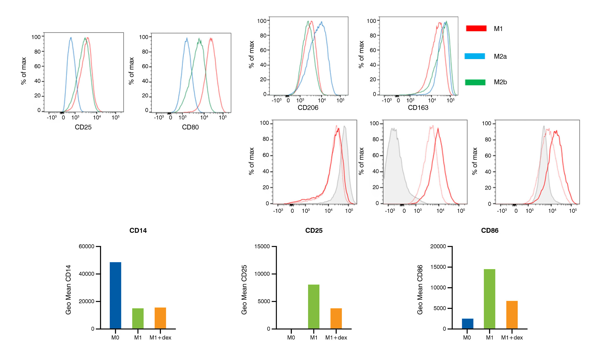 Schema of polarized macrophages following treatment with dexamethasone