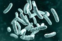 Microbe, microorganism, rod-shaped bacterium
