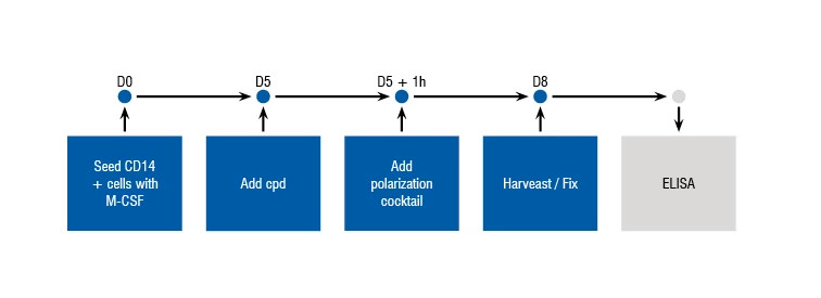 Figure showing the process and timelines for the M2 Polarization assay.