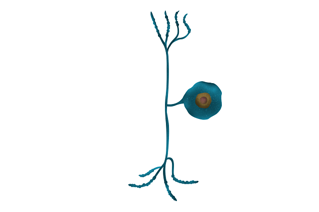 image of dorsal root pain neuron