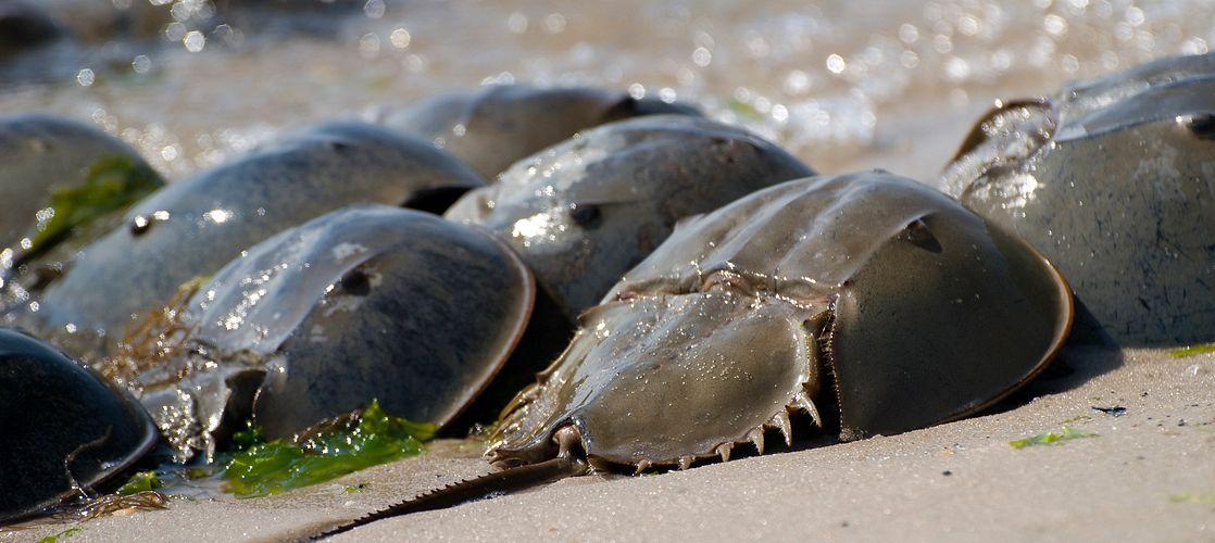 Horseshoe Crabs on Beach
