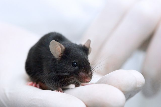 animal technician holding a white mouse