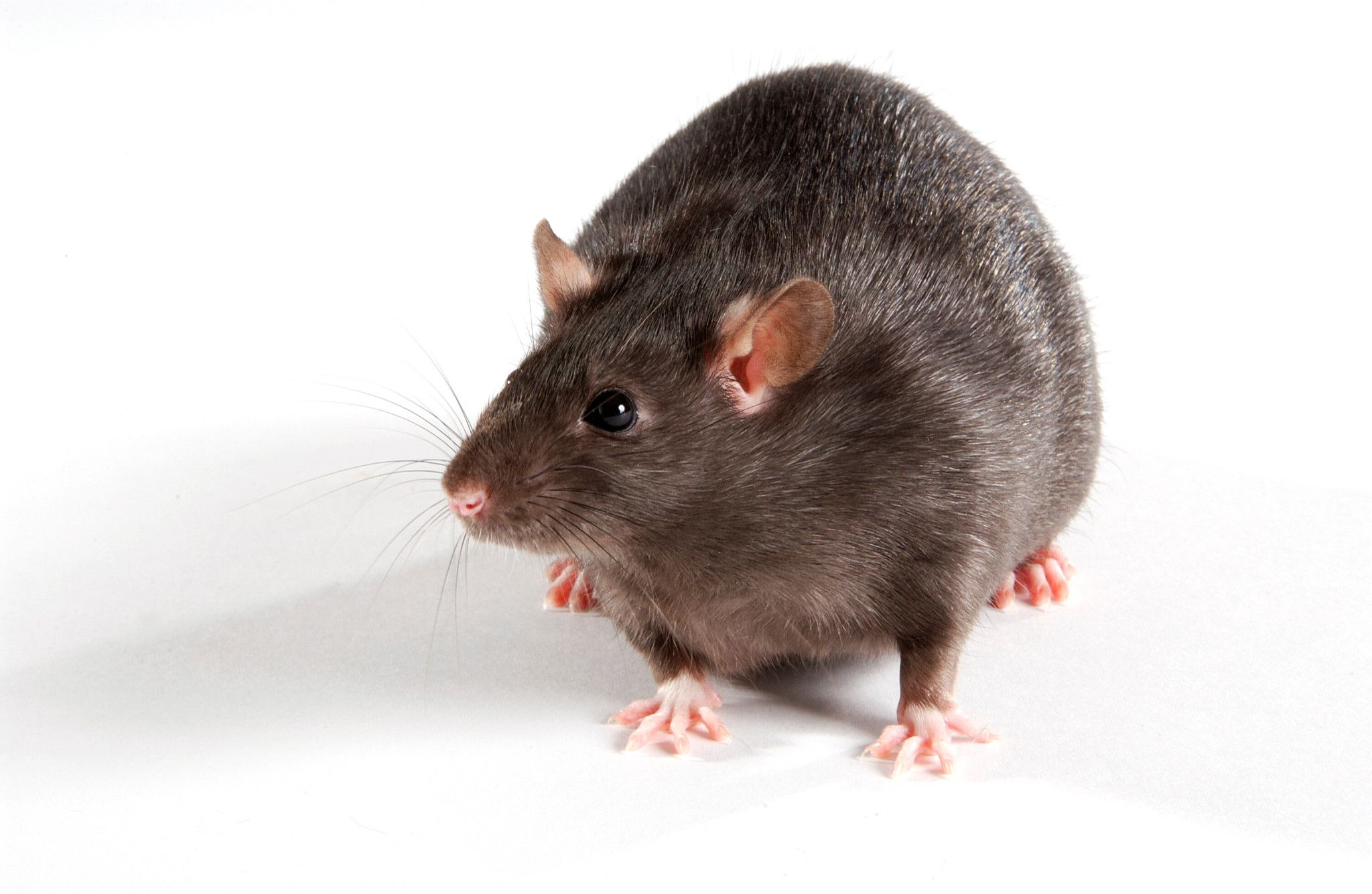 Image of mouse for Diet-induced Obesity and Metabolic Syndrome studies offered at Charles River